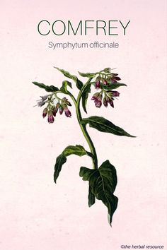 Holistic Health Remedies Comfrey ( Symphytum officinale) - Health Benefits, Active Ingredients and Side Effects of the Leaves and Root of the Medicinal Herb Comfrey (Symphytum officinale) Holistic Remedies, Herbal Remedies, Health Remedies, Healing Herbs, Medicinal Plants, Herbal Plants, Natural Medicine, Herbal Medicine, Natural Cures