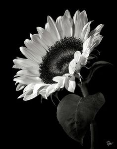 Sunflower in Black and White... http://fineartamerica.com/featured/sunflower-in-black-and-white-endre-balogh.html