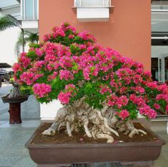 A beautiful flowering bonsai tree. Add some color to your home décor or patio…