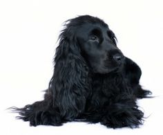 cocker spaniel. Reminds me of my first animal love as a child.