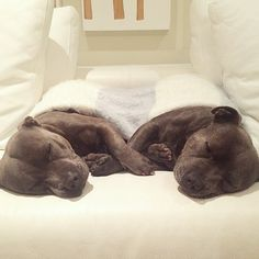 Darren and Phillip, two adorable Staffordshire Bull Terriers in Brisbane, Australia, are making waves online with adorable pictures of the two of them goofing off. These Blueboys aren't actually brothers, but they might as well be.