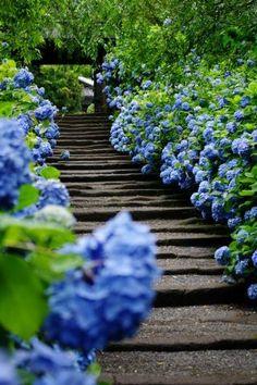 Hydrangea Hill Cottage: Blue Hydrangea Gardens