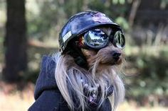 """Emma is a 2 year old Yorkshire Terrier who loves riding on the back of a Harley Davidson motorcycle behind her owners. She has her own """"Harley Davidson"""" helmet ..."""