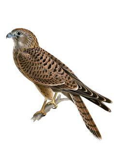 Tornfalk, Falco tinnunculus - Fåglar - NatureGate