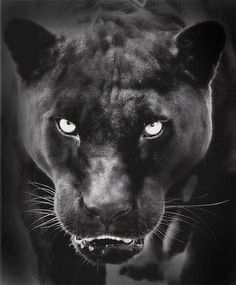 Jaguar Always been my favorite animal after otters, dark, mysterious, perfect hunters.