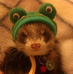 And now, a ferret in a froggie hat!