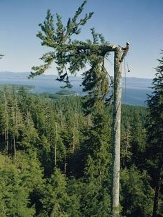 size: Photographic Print: A Lumberman Tops a Sitka Spruce Poster by W. Giant Tree, Big Tree, Forest Pictures, Nature Pictures, Tree Arborist, Timber Logs, Tree Surgeons, Tree Felling, Sitka Spruce