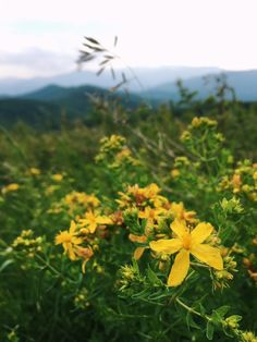 St. John's Wort Medicine // by Asia Suler of One Willow Apothecaries  #stjohnswort #herbalmedicine #herbalism #herbalist