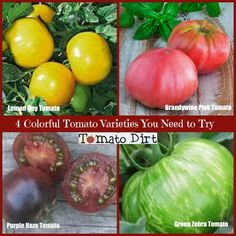 Tomato varieties, heirloom tomatoes, hybrids, determinate and indeterminate Types Of Tomatoes, Yellow Tomatoes, Cherry Tomatoes, Tomato Types, Growing Tomatoes, Organic Vegetable Seeds, Organic Seeds, Organic Vegetables, Green Zebra Tomato