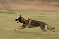 Love to watch a German Shepherd in motion!