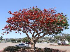 Coastal Coral Tree Erythrina Caffra Official Tree of LA, long flowers winter-spring, easy tree, Sunny well draining Low water Deciduous Trees, Flowering Trees, Trees And Shrubs, Evergreen Landscape, African Tree, Hummingbird Plants, Tree Identification, Long Flowers, Tropical Backyard