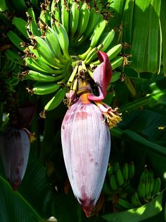 banana tree - fruits and flower