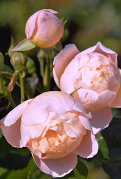 Apricot roses in my garden (Wil 4855)