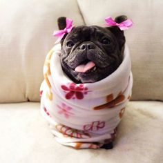 I may look like a potato now but one day I'll turn into fries and you'll want me then. www.frenchbulldogbreed.net
