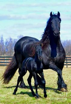 Gorgeous black horses. Texas, Foal: sired by Texas, out of Nella.