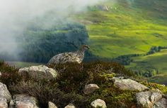 Ptarmigan on Schiellion Beautiful Birds, Beautiful Images, Bell Image, The Forth, 11 August, Image Caption, Great Shots, Pictures Images, Family Travel