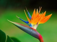 Nature Wonder: Some rare varieties of Beautiful Flowers Rare Flowers, Flowers Nature, Exotic Flowers, Tropical Flowers, Amazing Flowers, Birds Of Paradise Plant, Birds Of Paradise Flower, Flores Strelitzia, Mother Nature