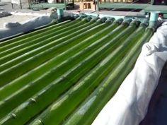 Algae Bioreactor: Incredible Oil Production
