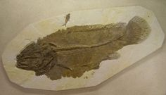 ✻⁓Cappi   fossil of fish