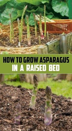 How to grow asparagus in a raised bed #Organic_Gardening (My-FavThings)