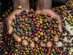 Did you know that coffee is Tanzania's largest export crop? Yip, Tanzanian coffee production averages between 30-40,000 metric tons each year and most of it is grown on the slopes of Mt. Kilimanjaro and Mt. Meru. And where can you buy some Tanzanian coffee? Well, the lion share of exports go to Japan and the United States. If you find some Tanzanian coffee at your local coffee brewer, send us a photo! We'd love to see it :) #MyEasyTravel #WowTanzania #MyEasyTravel #Africa #Tanzania #coffee