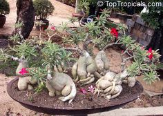 Adenium - buy from seed, you can make this succulent into a bonsai