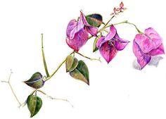 Bougainvillea sketch | Flickr - Photo Sharing!