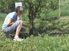 Learn three different easy ways to construct earwig traps. Bug Control, Weed Control, Earwigs, Natural Pesticides, Insect Pest, Pest Management, Growing Veggies, Bugs And Insects, Farm Gardens