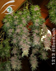 #PurpleKush Uploaded by Cannabeast  #KushPhoto @iSee Kush #sativa #Cannabis #Kush #Dank #purpleWeed #Purple #harvest #flower #1213  #Weed photos and #Marijuana videos at iSeeKush - The social network - devoted to #MedicalMarijuana.