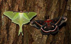 7758 – Actias luna – Luna Moth (L) with 7767 – Hyalophora cecropia – Cecropia Moth (R) | by Eric C. Reuter