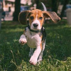"The beagle is a breed of hunting dog that has been a popular human companion for centuries. The dog is one of the most popular breeds in the United States, and has been famously recreated as Snoopy in the ""Peanuts"" comic strip. In the past, there was another breed of beagle called the pocket beagle"