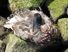 Verkuschelte Ente, Hafen Flensburg - Foto: S. Hopp