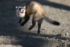 Black footed ferrets are extremely cute but also extremely endangered. Efforts nationwide have definitely helped but they are still threatened by habitat loss and disease.