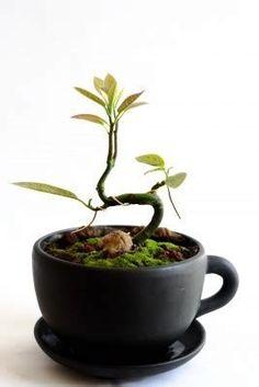 Resultado de imagem para avocado tree bonsai