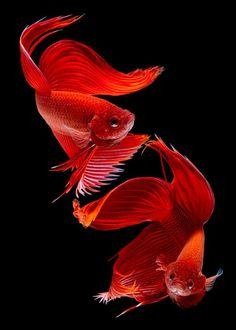 Alternatieve Wenskaart met de foto Siamese Fish door Subpong Ittitanakul