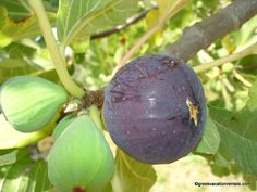 August in Greece means fresh figs from Evia!