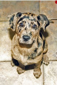 catahoula leopard hound mix. I am in love with how beautiful the markings are on this breed. Such a gorgeous dog! OOOH I want one!