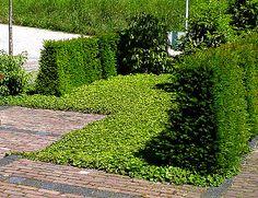 Waldsteinia ternata (Goudaardbei) groenblijvend, sterke bodembedekker, zon en schaduw, groeit het liefst in iets vochthoudende grond