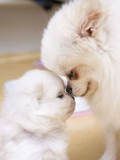 Pomeranian momma with baby.