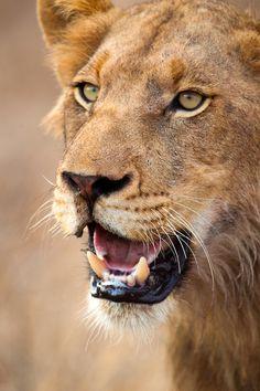 Lion ... c-o-l-o-u-r-world.tumblr.com