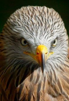 Farm Animals, Animals And Pets, Animal Close Up, Eagle Pictures, Birds Of Prey, Raptors, Flowers Nature, Hawks, Nature Scenes