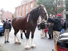 A Budweiser Clydesdale visits Boston Clydesdale Horses Budweiser, Muli, Budweiser Commercial, Big Horses, Draft Horses, Equine Art, Horse Stuff, Felt Animals, Zebras