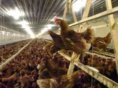 Burger King promises 100% cage-free eggs and pork by 2017