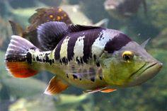 Peacock Bass | South American | American Cichlids | Fish | Smiths Aquarium