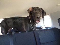 Great Dane dog for Adoption in Nashville, TN. ADN-482666 on PuppyFinder.com Gender: Female. Age: Adult