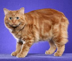 Get the facts on the Cymric, a tailless cat breed that is the long-haired variety of the Manx and is generally affectionate, friendly and gentle.