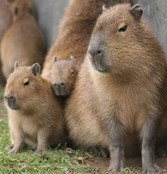 ♥PET♥ 21 CAPYBARAS (THEY POSE NO THREAT TO PUBLIC SAFETY)