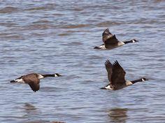 Les oiseaux de la région de La Pocatière, Québec: Un hybride Junco ardoisé x Bruant à gorge blanche!...