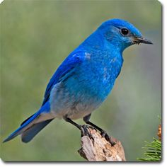Mountain #Bluebird – Learn About Your Backyard Birds – Backyard Wild #Bird Directory –
