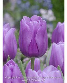 Tulip Alibi | BULBi.nl for Dutch bulbs